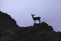 John Blaustein, Bighorn Sheep in 140-Mile Canyon, 1972. Photo courtesy John Blausteinl.